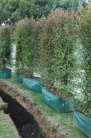 Mysine australis instant hedge ready for planting